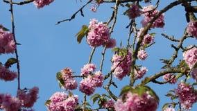 Blütenkirschrosafrühling stock footage