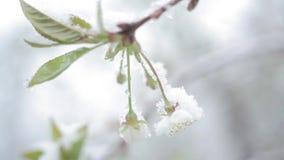Blütenkirschschneefälle/Schnee fällt im Frühjahr und Kirschblüten stock footage