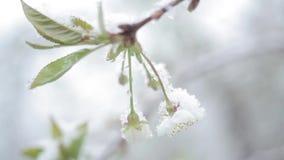 Blütenkirschschneefälle/Schnee fällt im Frühjahr und Kirschblüten stock video footage
