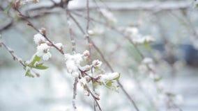 Blütenkirschschneefälle/Schnee fällt im Frühjahr und Kirschblüten stock video