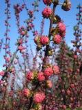 Blütenknospen der japanischen Aprikose lizenzfreie stockbilder