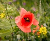 Blütenkopf des roten Unkrauts Stockbild