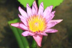 Blütenlotos Stockfotos