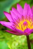 Blütenlotosblume im Teich Stockbilder