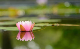 Blütenlotosblume in Thailand Stockfotos