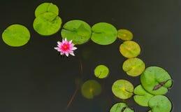Blütenlotosblume in Thailand Lizenzfreie Stockbilder