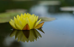 Blütenlotosblume in Thailand Stockbilder