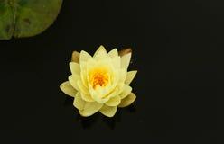 Blütenlotosblume in Thailand Lizenzfreies Stockfoto