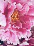 Blütenpfingstrosen Stockfotografie