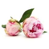 Blütenpfingstrosenblumen, Blumenhintergrund Stockbild