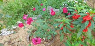Blütenpflanzen im natürlichen Gartenbau von Sri Lanka lizenzfreies stockfoto