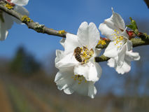 Blütenpracht mit Biene Stockfotografie