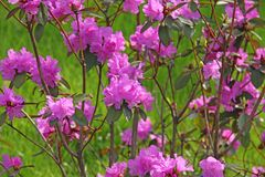 Blütenrhododendronbusch Lizenzfreies Stockfoto
