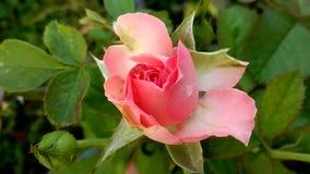 Blütenrosa stieg stock video