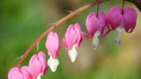 Blütenrosablüte des Blumenblutenden Herzens stockbilder