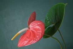 Blütenschweif andraeanum Stockfotos