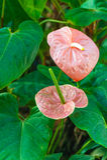 Blütenschweif andraeanum Stockfotografie