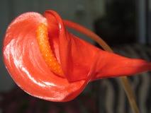 Blütenschweif Andraeanum Stockbild