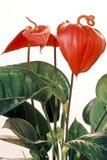 Blütenschweif andraeanum Blume Lizenzfreie Stockfotos