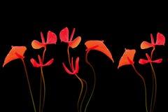 Blütenschweif auf Schwarzem lizenzfreie stockfotografie