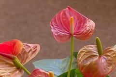 Blütenschweif-Blume Stockfoto