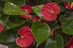 Blütenschweif-rote Flamingoblumen lizenzfreie stockfotografie