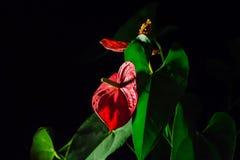 Blütenschweifblume, zurückhaltend Lizenzfreie Stockbilder