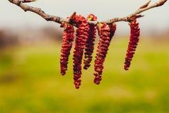 Blütenstände, die von der Niederlassung hängen Stockbild