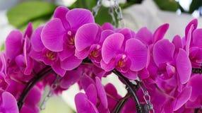 Blütenstände von purpurroten Orchideen Lizenzfreies Stockbild