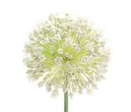 Blütenstand lizenzfreie stockbilder