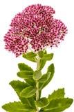 Blütenstand der Blumenmauerpfeffernahaufnahme, Lat Sedum Spectabile stockbild