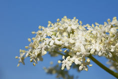 Blütenstand der Holunderbeere Stockfoto