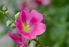 Blütenstand der Malvablume stockfotos