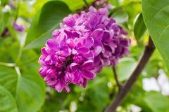 Blütenstand der purpurroten Flieder gegen Laubnahaufnahme lizenzfreie stockfotos