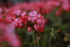 Blütenstand der rosa Pelargonie Lizenzfreie Stockfotos