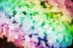 Blütenstand der weißen Hortensie schillernd lizenzfreies stockbild