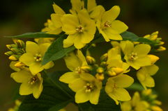 Blütenstand der wilden Blumen des Felberichs des blühenden Sommers des Gelbs blüht Lizenzfreies Stockbild