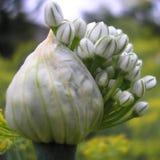 Blütenstand des Knoblauchs Stockfotografie