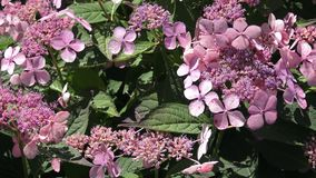 Blütenstand einer Hortensie mit seltenen Blumen stock video footage