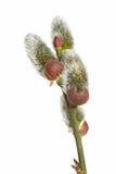 Blütenstand einer Weide stockbilder