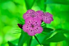 Blütenstand von den kleinen Gartennelken, die im Garten wachsen Lizenzfreie Stockfotografie