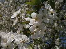 Blütenstand von Kirschen Stockfoto