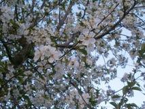 Blütenstand von Kirschen Stockbild