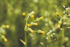 Blütenstand von kleinen und ungewöhnlich schönen Blumen, die nicht noch geblüht haben, wachsen in einer Reinigung in einem schöne lizenzfreie stockfotografie
