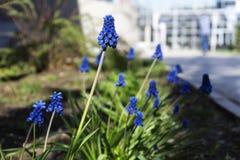Blütenstand von Muscari armeniacum Nahaufnahme lizenzfreie stockfotos