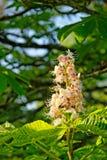 Blütenstand von Weiß blühenden Rosskastanie Aesculus hippocas Lizenzfreie Stockbilder