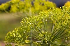 Blütenstanddill gartenbaulich lizenzfreie stockfotografie