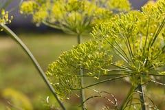 Blütenstanddill gartenbaulich lizenzfreie stockbilder