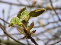 Blütenstandkastanie Lizenzfreies Stockbild