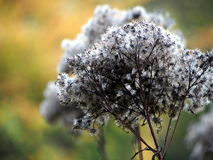 Blütenstandmakronahaufnahme des Eupatorium trockene Lizenzfreie Stockfotografie